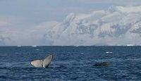 humpback antarctica cruise