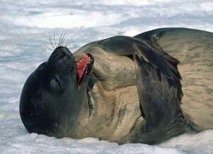 Weddell Seal Antarctica